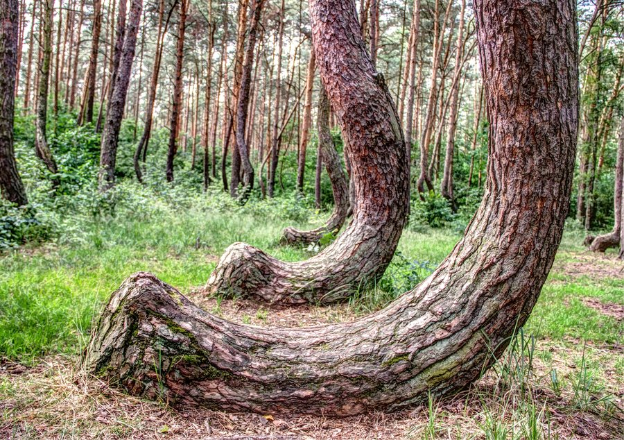 curved forest poland