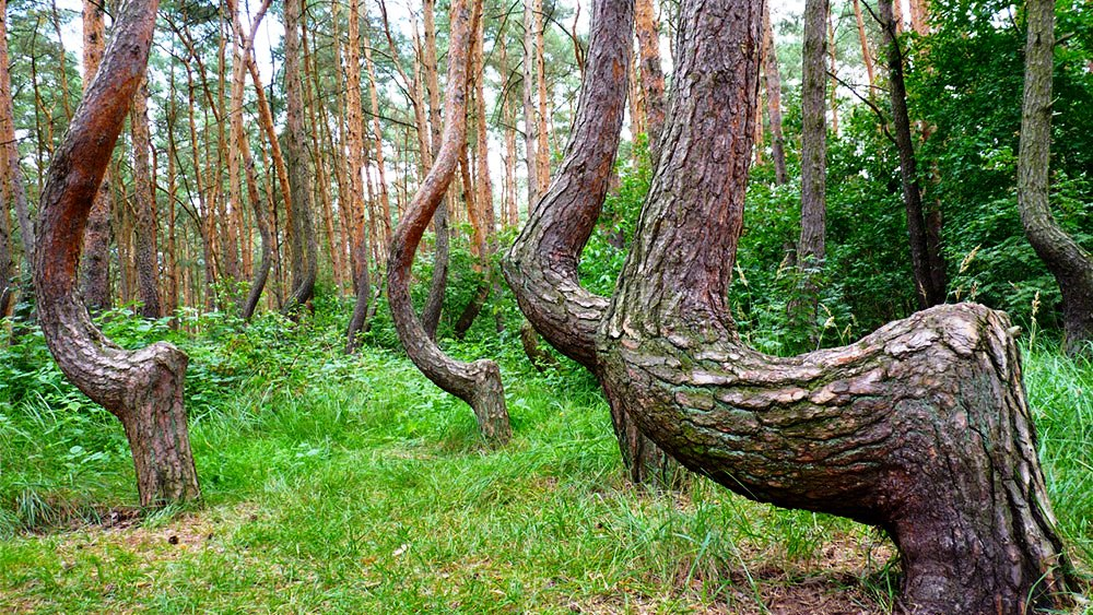 mysterious Crooked Forest