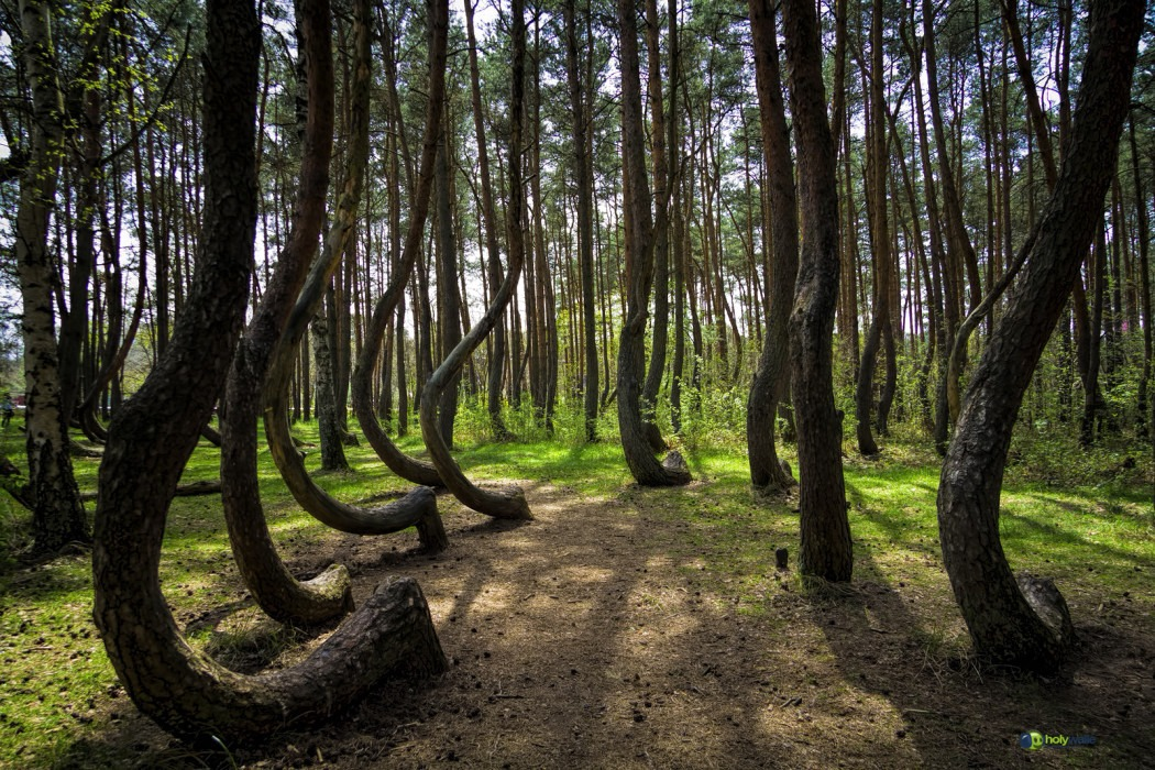 poland crooked forest