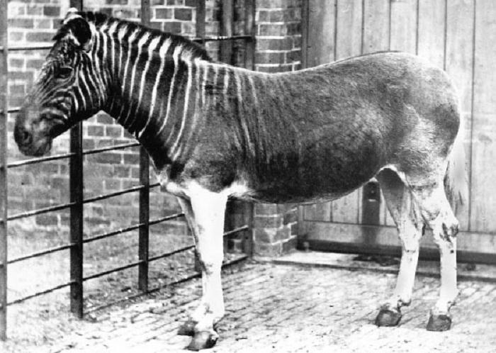 Quagga Extinct animals