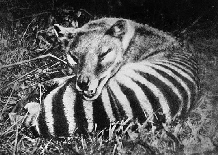 Thylacine Extinct animals
