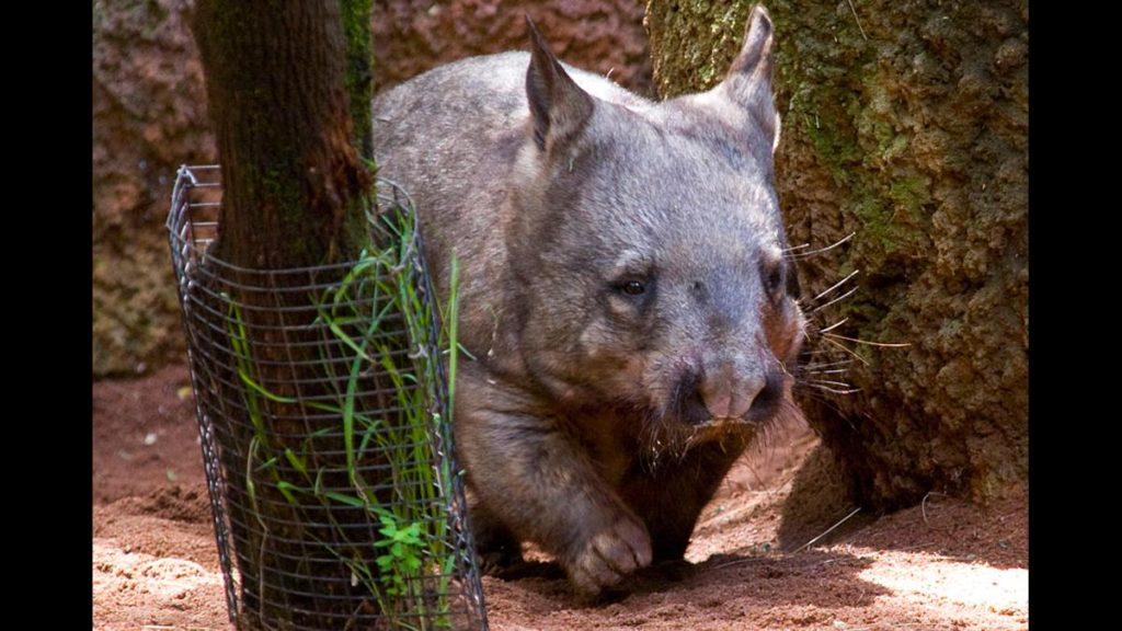 Wombat cute baby